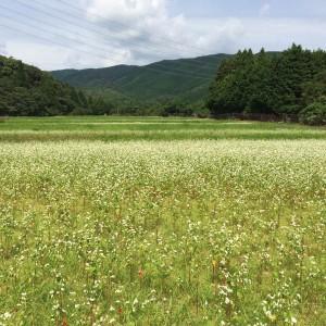 いなべ市北勢町二之瀬そば畑(2014年9月18日撮影)