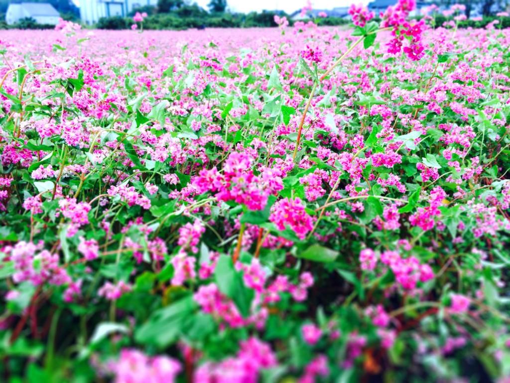 いなべ市藤原町長尾のそば畑 (2014年10月13日撮影)
