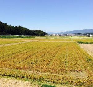 いなべ市治田外面のそば畑 (2014年10月18日撮影)