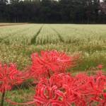 2015年 いなべの里のそばの花 (藤原町長尾、藤原町日内、9月24日)