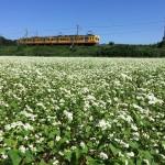 2015年 いなべの里のそばの花 (三岐鉄道三岐線沿い、9月20日)