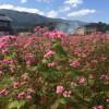 2015年 いなべの里 赤いそばの花 (いなべ市藤原町長尾、10月6日)