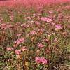 NHKでいなべの赤いそばの花が報道されました