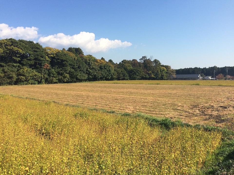 新そばの収穫が始まったそば畑 -三重県いなべ市藤原町市場 2015年11月6日